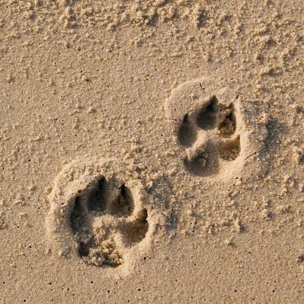 Two dog paw prints over wet sand.
