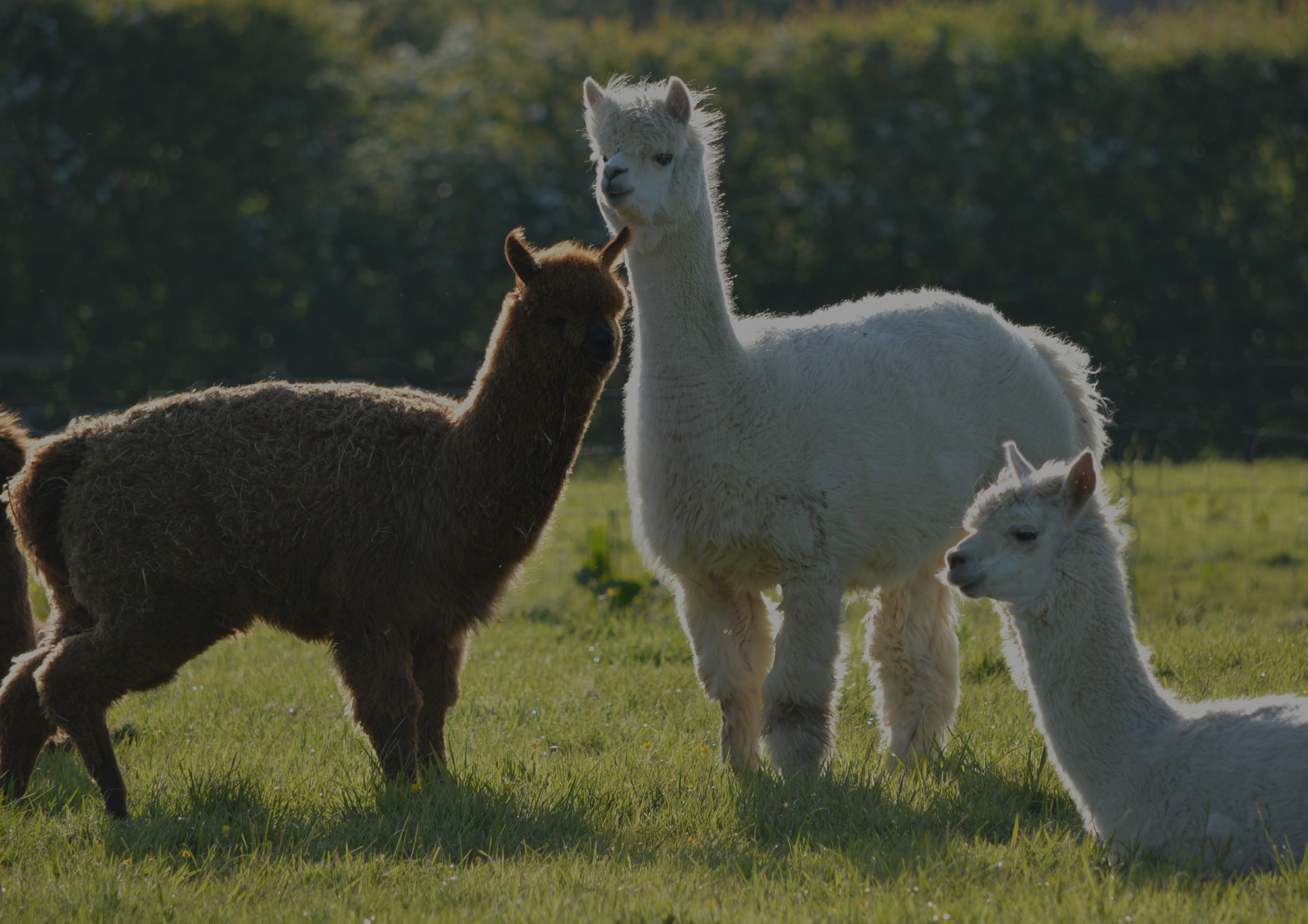 Three Llamas in a Field