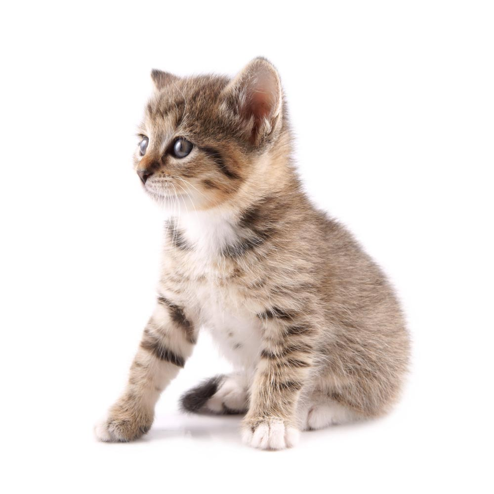 small kitten sitted on white background
