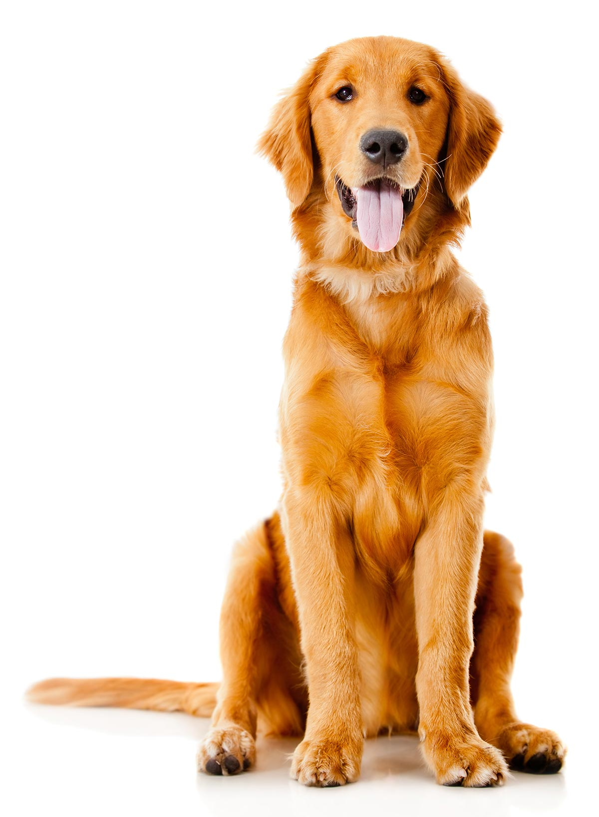 labrador dog sitted on white background