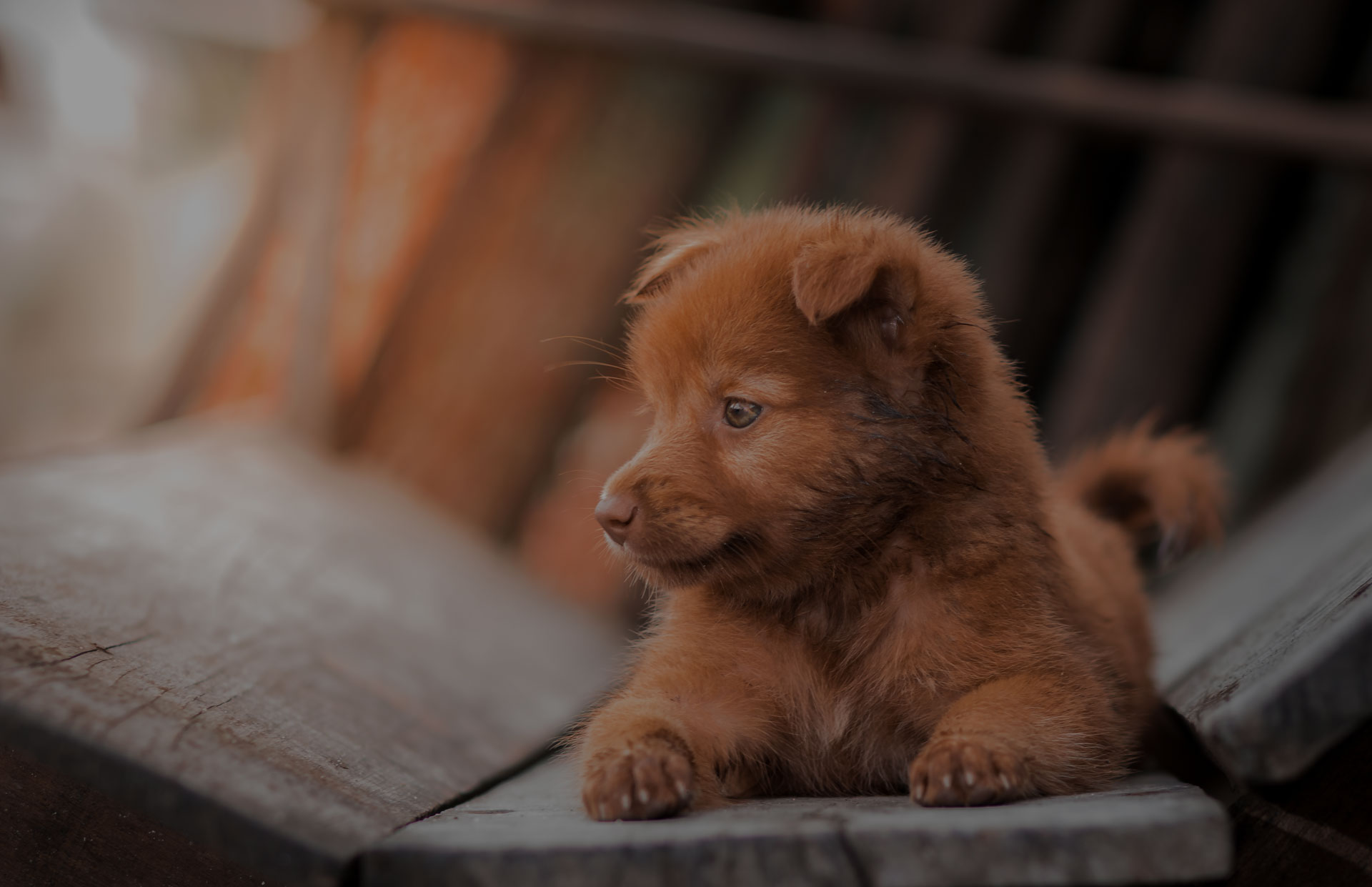 lovely brown puppy dog portrait,alert puppy dog lay down on wooden chair.