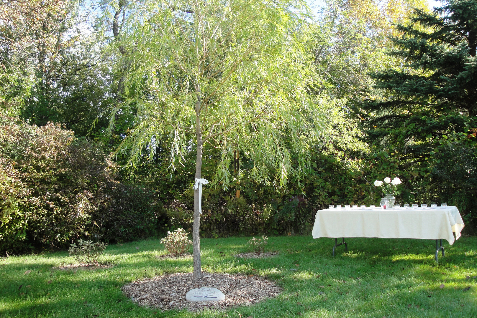 canoe birch tree in garden