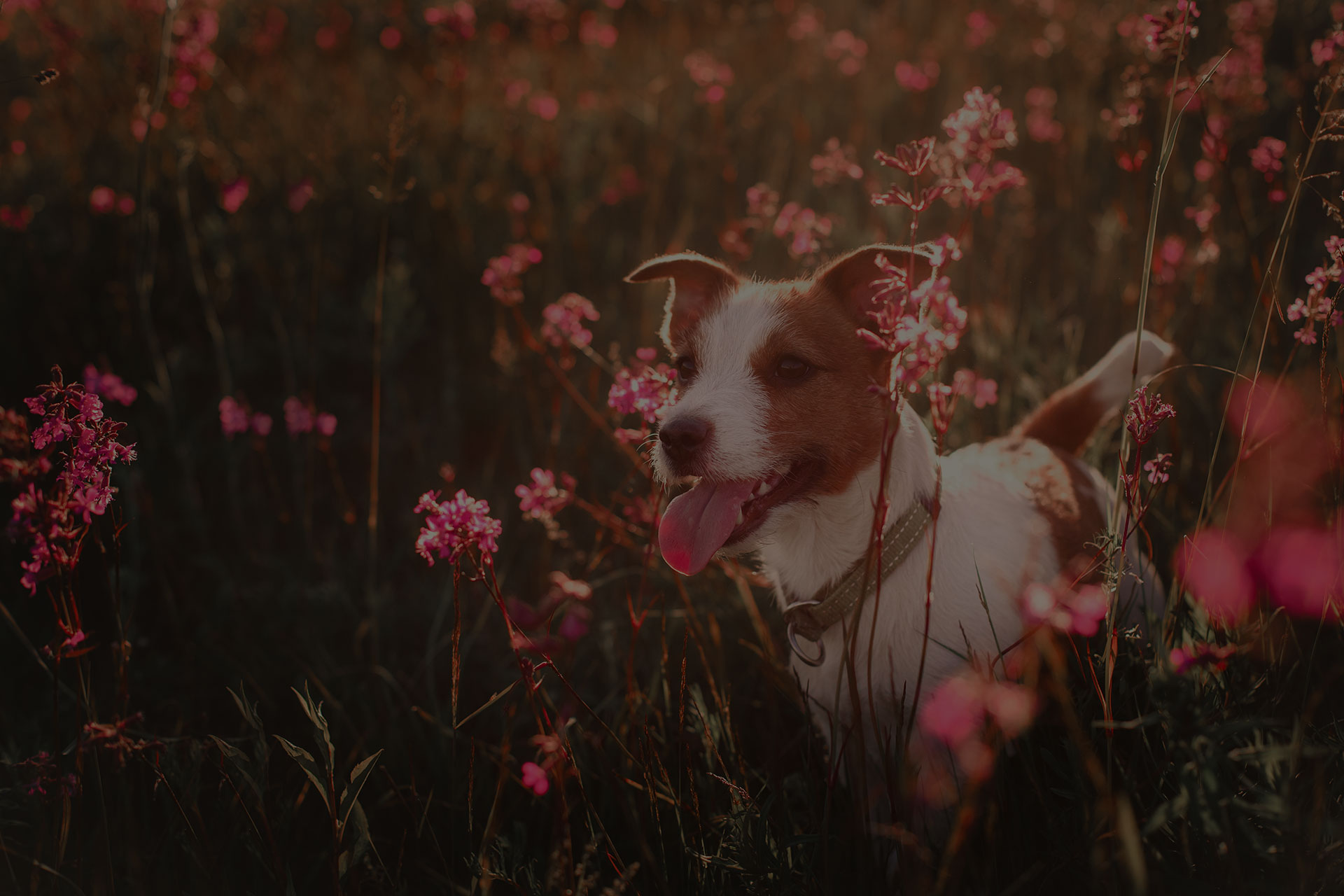 Dog jumping in the beautiful flower fields