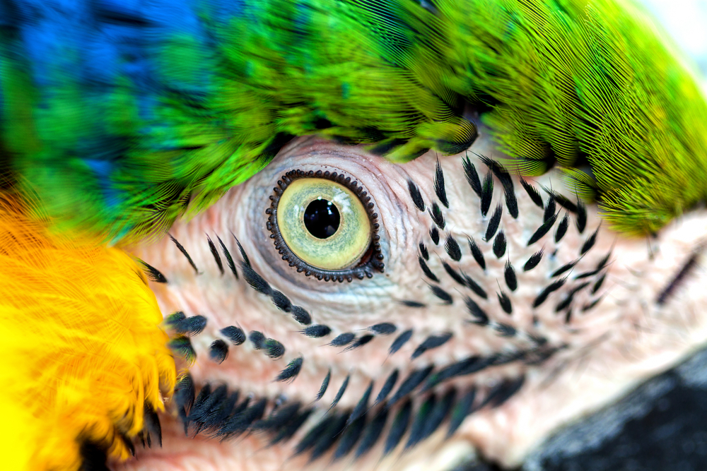 Beautiful eye wild parrot bird Great-Green Macaw close-up